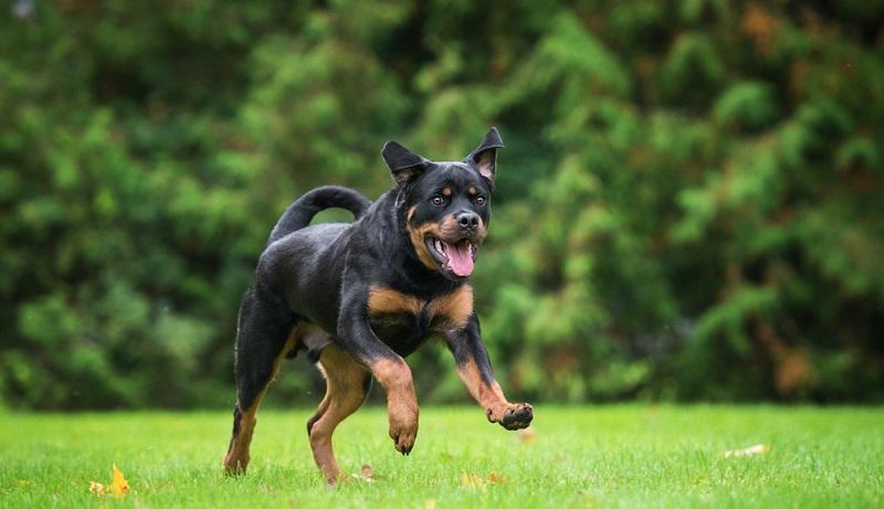 Der Mensch, der sich einen Rottweiler zulegt, muss eine ruhige, ausgeglichene und durchsetzungsstarke Art haben. ( Foto: Shutterstock- Rita_Kochmarjova)