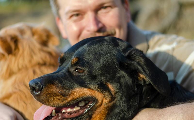 Wie bei allen großen und schweren Hunden neigen auch Rottweiler zur Gelenksdysplasie und Ellenbogendysplasie. ( Foto: Shutterstock-Dmitriev Mikhail )