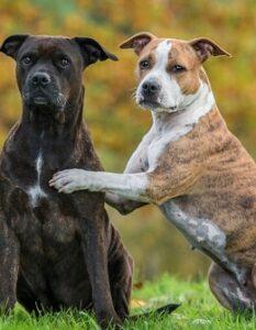 Staffordshire Terrier: wie Du ihm ein schönes Zuhause geben kannst ( Foto: Shutterstock- Rita_Kochmarjova)