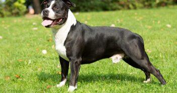 American Staffordshire Terrier: Wie man ihn am besten in die Familie holt ( Foto: Shutterstock- Vera Zinkova_)