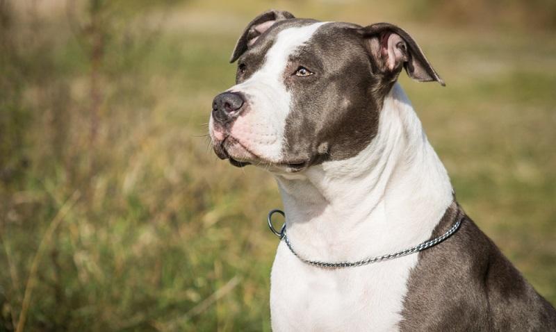 Der American Staffordshire Terrier ist im Grunde seines Wesens ein ruhiger, verspielter und ausgeglichener Hund. ( Foto: Shutterstock-AnetaZabranska)