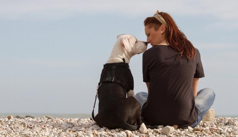 Der American Staffordshire Terrier ist ein gut erziehbarer Hund. Doch bedarf es einen bereits erfahrenen Hundeführer, der sich auf eine positive Sozialisierung und konsequente Erziehung versteht. ( Foto: Shutterstock- BestShots )
