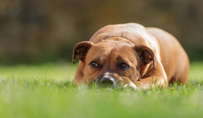 Der heutige American Staffordshire Terrier ist eine Hunderasse aus den USA. Die Ahnen des American Staffordshire Terrier stammen aber aus Großbritannien. ( Foto-Shutterstock-Michal Ninger)