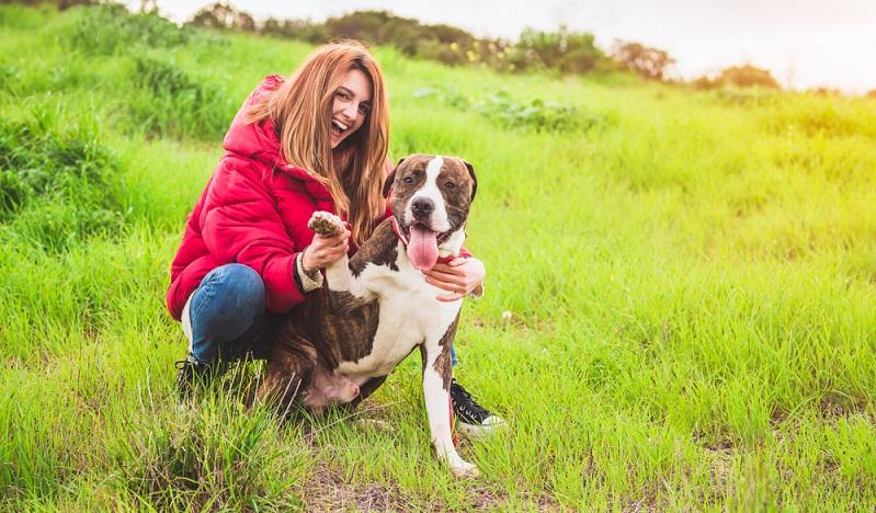 Die Fellpflege ist beim American Staffordshire Terrier nicht aufwendig.  ( Foto: Shutterstock- Fotoeventis_)