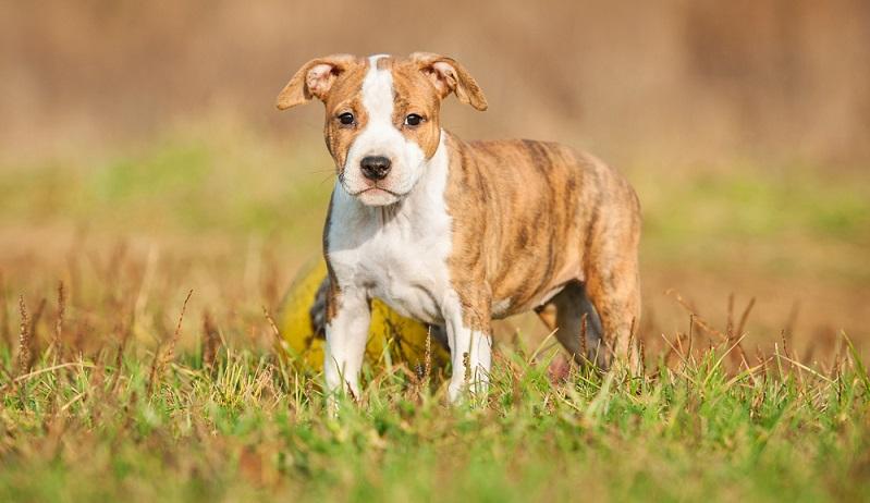 Verantwortungsvolle Züchter haben wesensstarke, ausgeglichene und gesunde Hunde. ( Foto: Shutterstock-Rita_Kochmarjova)