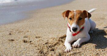 Jack Russell Terrier: Ein Tausendsassa auf vielen Gebieten( Foto: Shutterstock-evrymmnt)