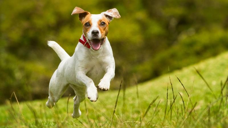 Jack Russell Terriers sind kleine Jagdhunde, die speziell für die Fuchsjagd zu Pferd gezüchtet wurden. In Bewegung sein ist ein Lebenselixier für den Jackie. ( Foto: Shutterstock-Ammit Jack )