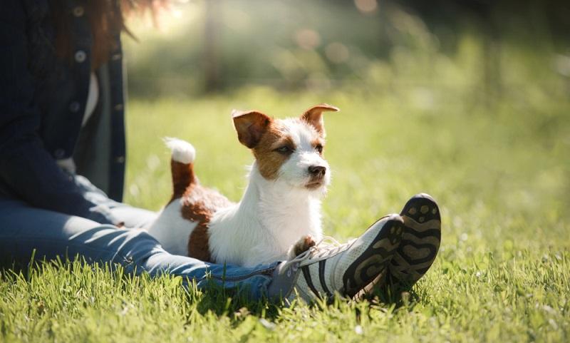 Der Jack Russell ist ein kleiner Dickschädel, der von Beginn an eine liebevolle und konsequente Erziehung benötigt. ( Foto: Shutterstock-dezy)