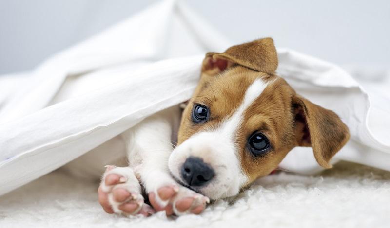 Wenn man lange viel Freude mit seinem Jack Russell Terrier haben möchte, muss man nach einem seriösen Jackie Züchter suchen. ( Foto: Shutterstock-Smit )