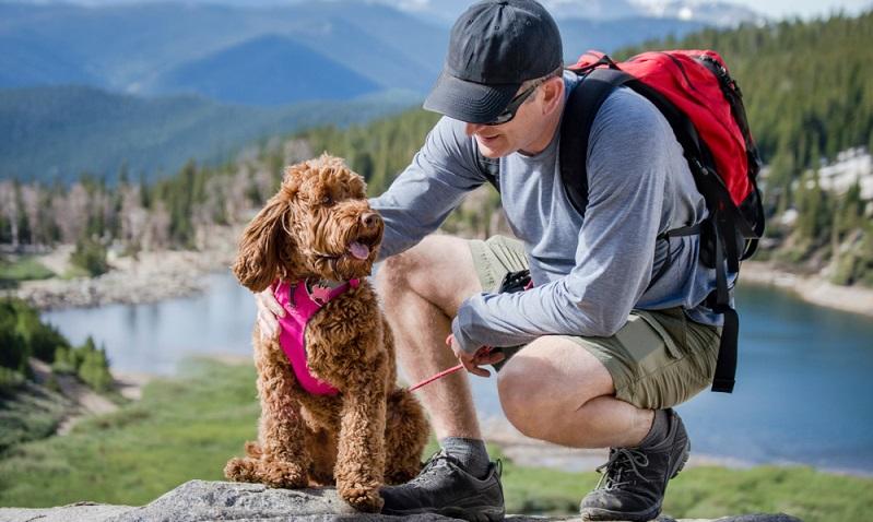 Wer sich einen Labradoodle zulegt, hat einen idealen Gefährten für naturnahe Freizeitaktivitäten und vielseitige Hunde-Sportarten. ( Foto: Shutterstock-Ann Lillie)