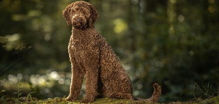 Wie ein Labradoodle auszusehen hat, kann man nicht festlegen. ( Foto: Shutterstock- Sharon Snider )