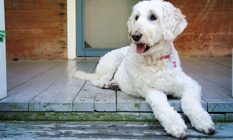 Der Labradoodle vereint zwei Charakteren in sich: die des Labradors und die des Pudels. ( Foto: Shutterstock-Maria Bell )
