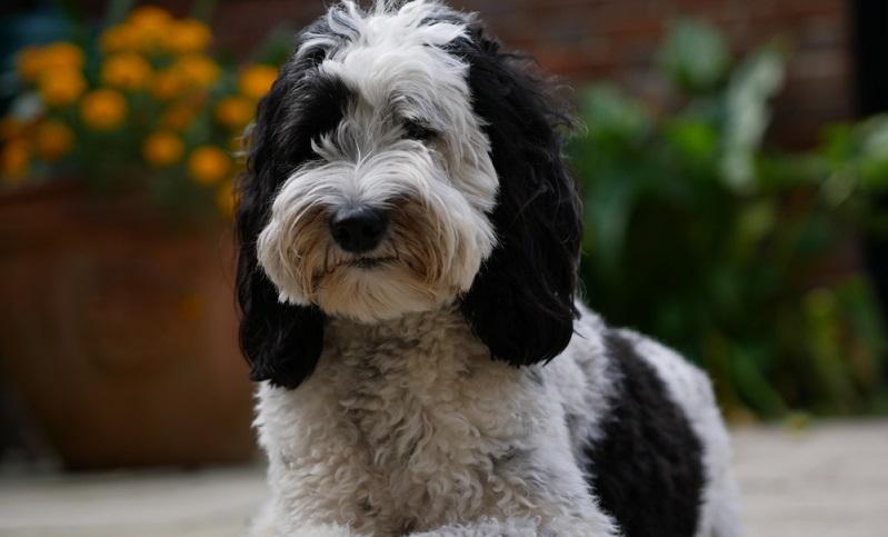 Denn Menschen mit einer Hundehaarallergie reagieren nicht auf die Haare eines Hundes, sondern auf bestimmte Eiweiße, die sich auf der Haut, im Speichel und Urin eines Hundes befinden. ( Foto: Shutterstock-_Flyby Photography )