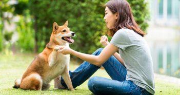 Shiba Inu: Klein aber Oho ( Foto: Shutterstock-_thirawatana phaisalratana)