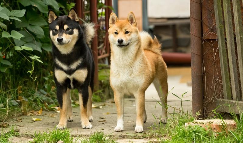 """Shiba Inu sind Jagdhunde, die ihren eigenen Kopf haben. Das """"will to please"""", das vielen Jagdhunden zu eigen ist, wird man jedoch beim Shiba Inu vergeblich suchen. ( Foto: Shutterstock-TOM KAROLA )"""