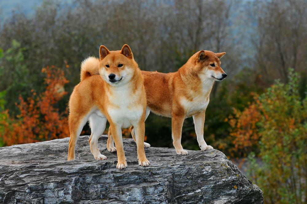 Der Shiba Inu ist somit einer der Urhunde, dessen genetische Verwandtschaft noch direkt auf den Wolf zurückzuführen ist. ( Foto: Shutterstock-Ricantimages )