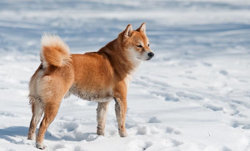 Sieht man den Shiba Inu zum ersten Mal, kann man sich seiner Faszination kaum entziehen. Doch bei der Frage, ob man sich diesen Hund zutraut, sollte der Verstand wieder eingeschaltet werden. ( Foto: Shutterstock- Trybex)