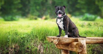 Staffordshire Bullterrier: warum er seine Familie einfach braucht ( Foto: Shutterstock-Rita_Kochmarjova)