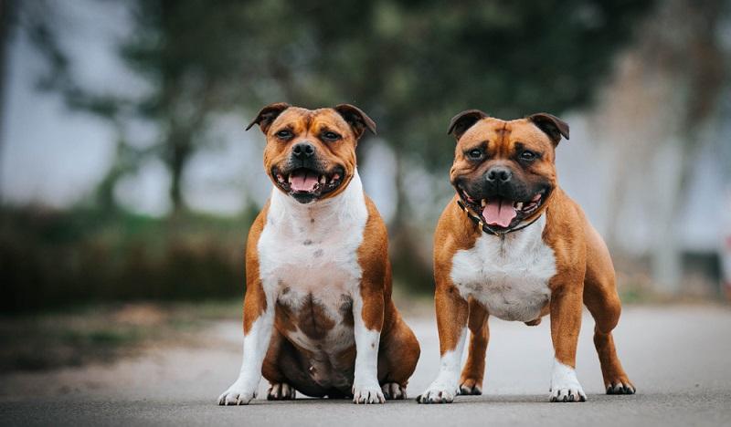 Der Staffordshire Bullterrier ist äußerlich die kleine Version des American Staffordshire Terrier. Der kräftige und kompakte Staffordshire Bullterrier ist auf eher kurzen Beinen unterwegs. ( Foto: Shutterstock- Eve Photography)