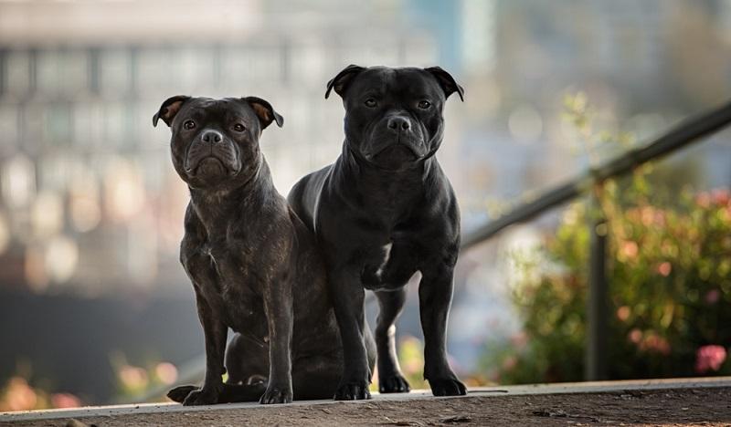 Staffordshire Bullterrier sind intelligente Hunde mit einem furchtlosen Wesen. Richtig sozialisiert und erzogen ist der Staffordshire Bullterrier ein zuverlässiger Begleiter, der Menschen gegenüber freundlich ist. ( Foto: Shutterstock-_Ekaterina Brusnika)