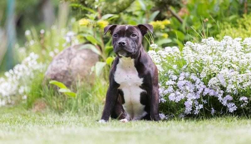 Der Staffordshire Bullterrier ist ebenfalls wie der American Staffordshire Terrier ein Nachkomme des Bull und Terrier Schläge aus England. ( Foto: Shutterstock-Osetrik )