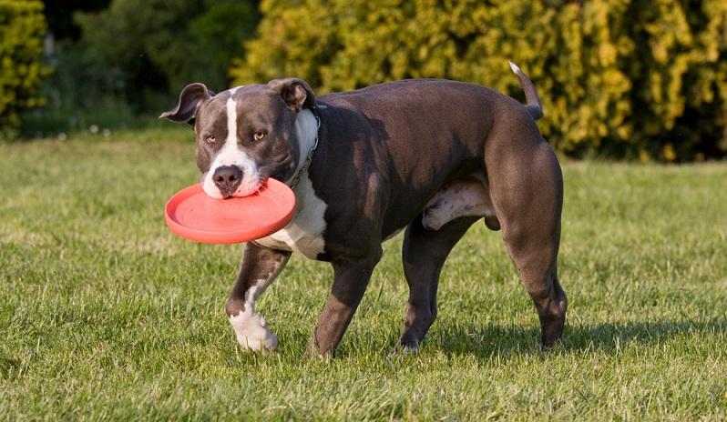 Ein Staffordshire Terrier ist ein Energiepaket, das viel Bewegung benötigt. Für sportive Menschen ist er daher ein guter Begleiter.  ( Foto: Shutterstock- Lenkadan)