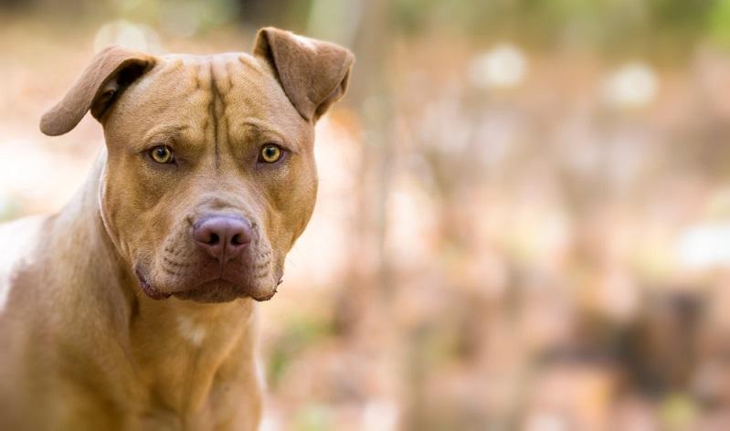 Der Staffordshire Terrier ist nämlich von Haus aus ein in sich ruhender und ausgeglichener Hund, mit einer hohen Reizschwelle.  ( Foto: Shutterstock-Lunja)