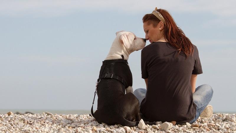 Mit einer erfolgreichen Sozialisierung des Staffordshire Terrier beginnt auch gleichzeitig die Erziehung. ( Foto: Shutterstock-BestShots )