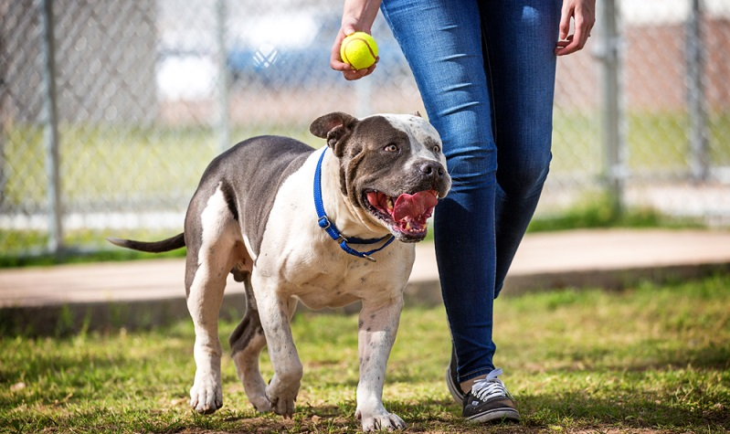 Unerwähnt sollte auch nicht bleiben, dass man als Halter eines Staffordshire Terriers relativ viel Ausgrenzungen erfahren wird und unter gesellschaftlicher Beobachtung stehen wird.  ( Foto: Shutterstock-Susan Schmitz )