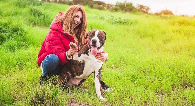 Der Staffordshire Terrier aus einer seriösen Zucht ist in der Regel ein gesunder Hund. Wie bei vielen schweren Hunden kann es aber auch beim Staffordshire Terrier zu Hüftgelenksdysplasie kommen. ( Foto: Shutterstock-_Fotoeventis )