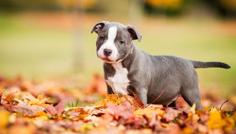 Mit dem Einzug eines Staffordshire Terrier-Welpen in sein neues Zuhause, beginnt nun sein neues Leben als Listenhund.  ( Foto: Shutterstock-Aneta Jungerova )