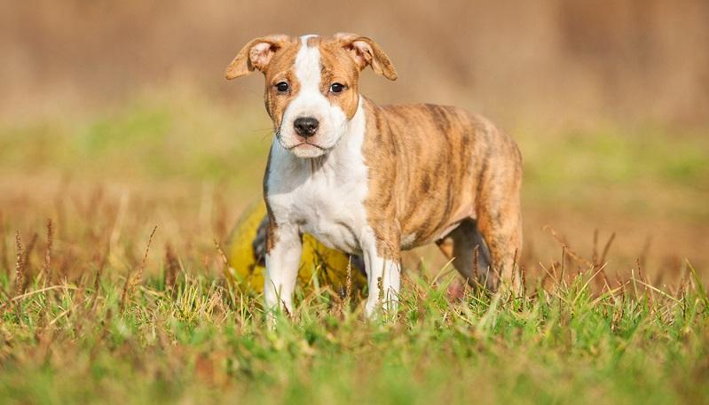 Seriöse Staffordshire Terrier Züchter achten bei der Verpaarung der Elterntiere nicht nur auf die Gesundheit, sondern auch auf das Wesen der Hunde.  (Foto: Shutterstock-Rita_Kochmarjova)