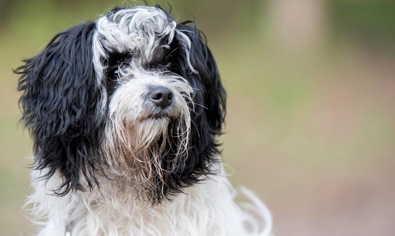 Der Bolonka Zwetna mag es zu spielen. Diesen Spieltrieb kann man gut nutzen, um eine Reihe von Hundeaktivitäten mit ihm zu betreiben. ( Foto: Shutterstock-Bildagentur Zoonar GmbH )