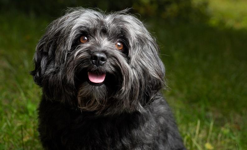 Wenn man sich einen Bolonka Zwetna zulegt, übernimmt man die Verantwortung für einen sehr menschenbezogenen Hund. ( Foto: Shutterstock-TeamDAF )