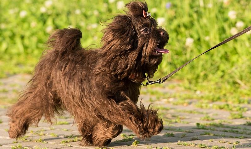 Der Bolonka Zwetna ist ein kleiner Hund mit einem langen, wuscheligen, lockigen Haarkleid. ( Foto: Shutterstock- Suponev Vladimir )