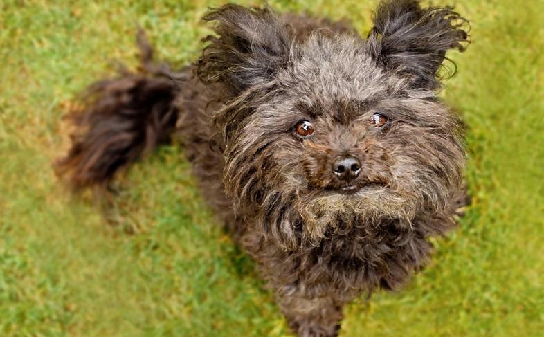 Der kleine Bolonka Zwetna ist ein sehr gelehriger Hund und auch für Hundeanfänger gut zu trainieren. ( Foto: Shutterstock- Hanicka1982)