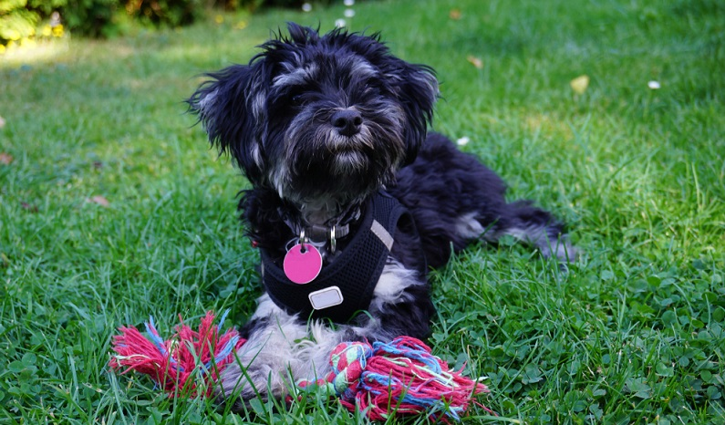 Der kleine Bolonka Zwetna ist ein verspielter und sehr menschenbezogener Hund. Wer ihm seine volle Aufmerksamkeit schenkt, erhält einen treuen und verschmusten Familienhund. ( Foto: Shutterstock- Janet Worg)