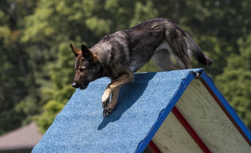 Wenn er nicht als Rettungshund oder Spürhund ausgebildet wird, kann man im privaten Bereich eine Menge Outdoor-Aktivitäten mit dem Schäferhund unternehmen. ( Foto: Shutterstock- Debbie Steinhausser )