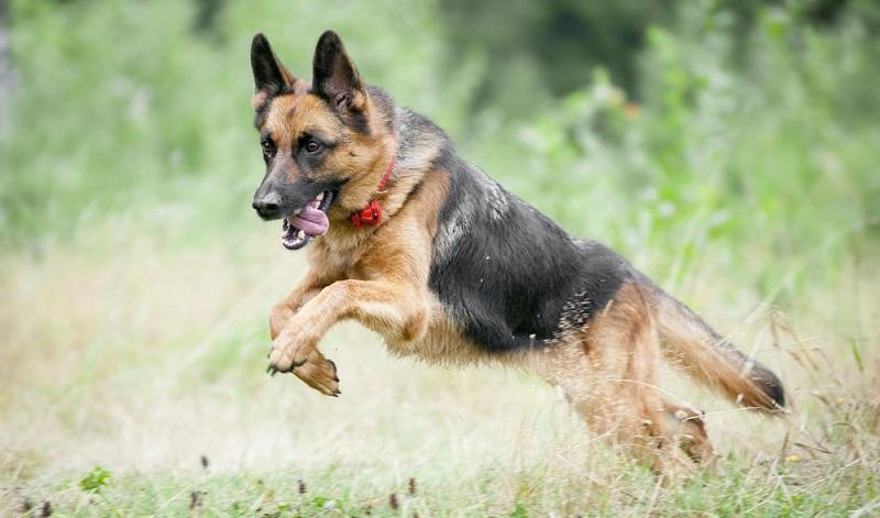 Der Deutsche Schäferhund ist ein mittelgroßer bis großer Hund, mit einer Widerristhöhe von bis zu 65cm bei Rüden. ( Foto: Shutterstock-Olga_i )