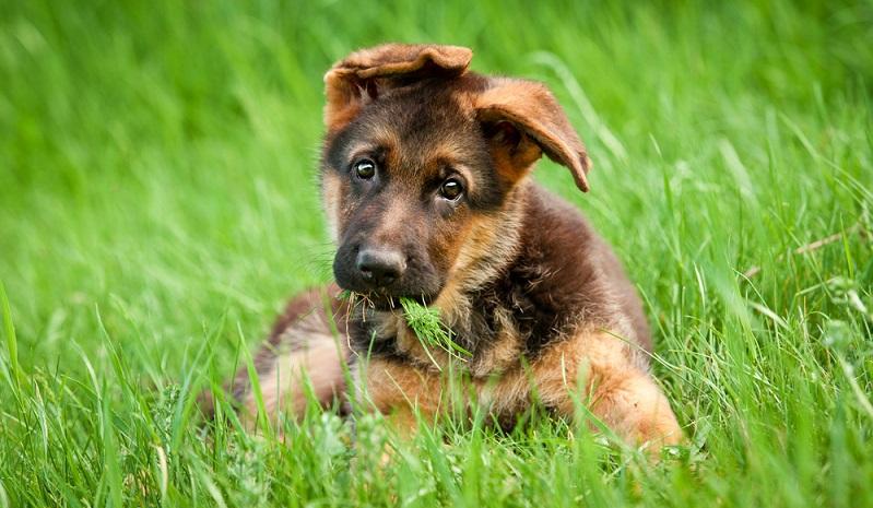 Wie alle Hundewelpen sind auch die niedlichen Schäferhund Welpen kleine neugierige Rabauken. ( Foto: Shutterstock- Rita_Kochmarjova)