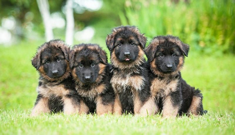 Wer auf der Suche nach einem seriösen Schäferhund Züchter ist, findet auf den Seiten des Verband für das Deutsche Hundewesen (VDH) oder auf der Seite des Verein für Deutsche Schäferhunde (SV) die Kontaktdaten. ( Foto: Shutterstock-Rita_Kochmarjova )