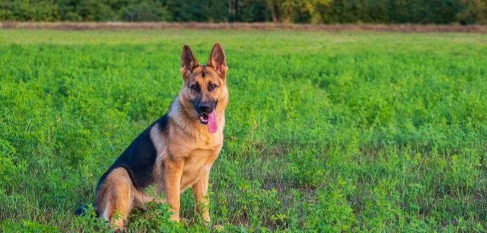 Deutscher Schäferhund: Freund und Helfer des Menschen ( Foto: Shutterstock-Barat Roland )