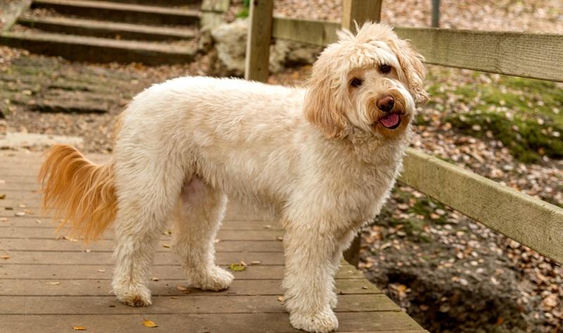 Wie bei allen Doodle-Hunden, kann man auch beim Golden Doodle nicht von einem Standard-Aussehen ausgehen. ( Foto: Shutterstock-Wie bei allen Doodle-Hunden, kann man auch beim Golden Doodle nicht von einem Standard-Aussehen ausgehen.( Foto: Shutterstock-Steve Bruckmann )