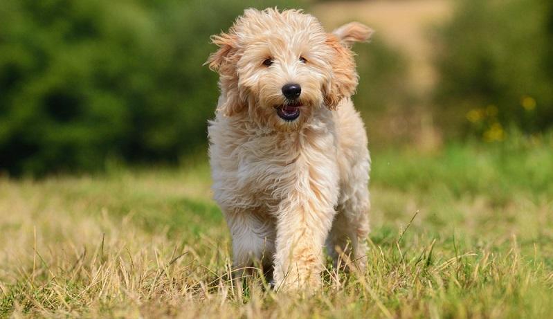 Der Golden Doodle ist ein einfach zu erziehender Hund. Auch Hundeanfänger werden mit dem Golden Doodle keine größeren Probleme haben. ( Foto: Shutterstock- anetapics_)