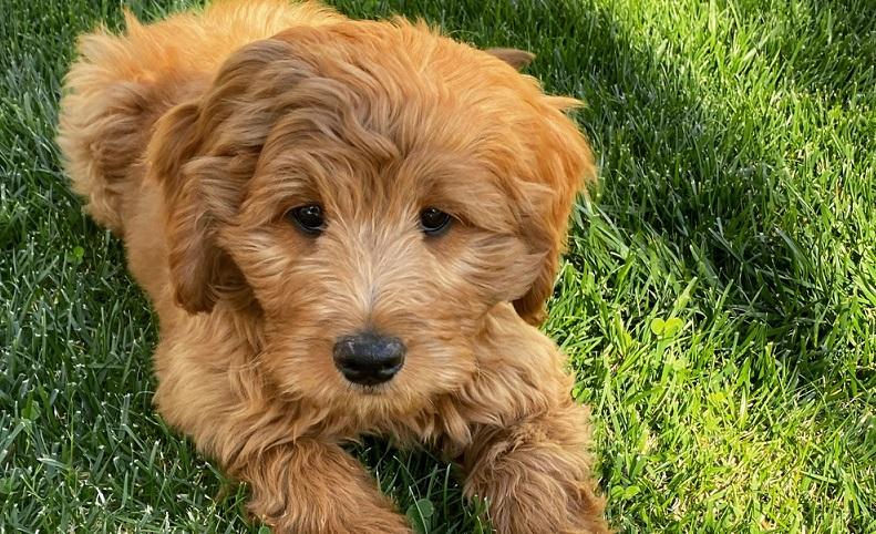 Wenn ein Golden Doodle Welpe in sein neues Zuhause einzieht, beginnt sowohl für den kleinen Hund wie auch für seine neue Menschenfamilie ein neues Leben. ( Foto: Shutterstock-cine-nomadic )