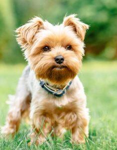 Yorkshire Terrier: warum Du ohne ihn nicht mehr sein können wirst ( Foto: Shutterstock-ArtdayAnna )