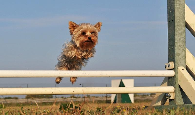Mit dem Yorkshire Terrier hat man einen Hund, der sich selbst ziemlich wichtig nimmt und anderen Hunden gegenüber gern mutig auftritt. ( Foto: Shutterstock-cynoclub )