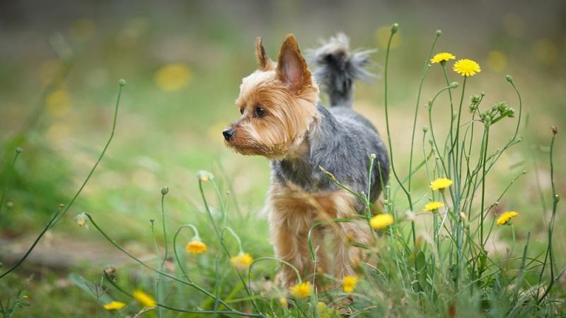 Bei der Überlegung zur Anschaffung eines Yorkshire Terrier muss, wie bei jedem Haustier viel bedacht werden. Ein absolutes no go ist, ein Tier zu verschenken. ( Foto: Shutterstock-sompreaw )