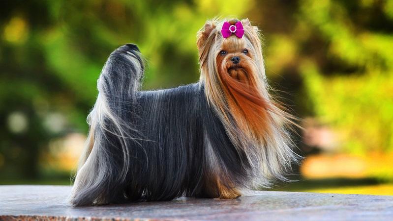 Der Yorkshire Terrier ist der Mini unter den Terriern. Die genaue Größe des Yorkie ist laut Rassestandard nicht festgelegt. ( Foto: Shutterstock-Dulova Olga)