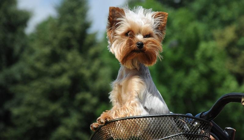 Den Yorkshire Terrier sollte man aufgrund seiner geringen Größe nicht unterschätzen. Er ist ganz und gar Terrier, der gern die Marschrichtung vorgibt. ( Foto: Shutterstock-_alexkatkov )